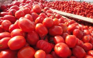 新疆西红柿变硬为什么?看市场选择的结果