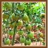 知名广西果业 著名广西种子企业 现代立新水果番茄种子立新美娜