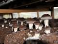 香菇栽培技术的新突破