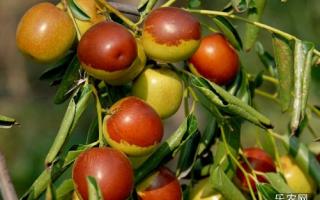 秋季冬枣带叶栽植效果会很好