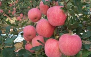 苹果采收后还需做什么