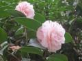 十八学士茶花的种植方法