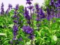 薰衣草的种植方法