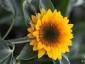 向日葵为何向着太阳?向日葵属于什么植物?
