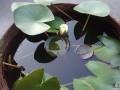 怎样栽培种植迷你睡莲