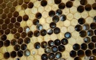 蜜蜂幼虫病要如何治疗?