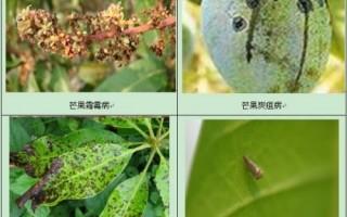 芒果树病害的防治方法