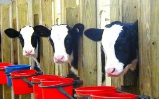 犊牛几周龄喂草料比较好?