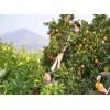 奉节水果采摘脐橙 重庆蔬菜采摘 奉节县耕植农业发展有限公司