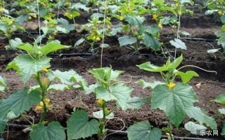 越冬黄瓜定植后徒长怎么办