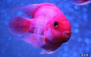 鹦鹉鱼怎么养?鹦鹉鱼的寿命有多长?