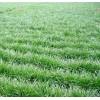 2017黑麦草种子 牧草草坪种子