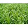 优质牧草种子 优质牧草种苗 进口墨西哥玉米草种子