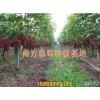 广西葡萄苗种植基地-占地葡萄苗品种齐全-都安县南方水果种植专