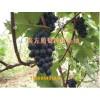 葡萄苗哪里买品种纯-葡萄苗多少钱-都安县南方水果种植专业合作
