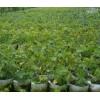 大量批发葡萄苗木种植基地_哪里有贵州葡萄苗种植基地_都安县南
