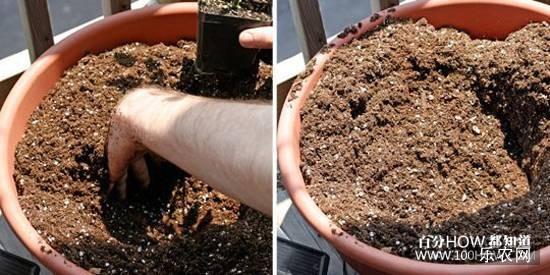 花盆种植西红柿的步骤:4,在花盆中间挖一个小坑,为植株创造空间。