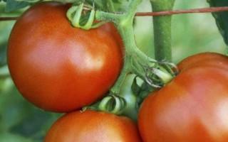 怎么在阳台用花盆种植西红柿(图文教程)