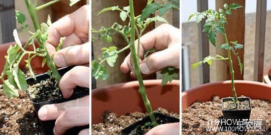 花盆种植西红柿的步骤:3,用剪刀或者手指,将籽苗下半部分的枝叶摘除。
