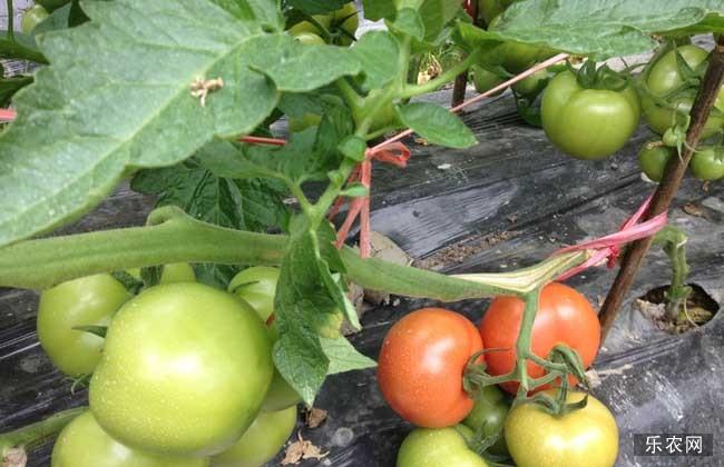 西红柿的种植管理技术