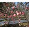 陕西苹果供货商电话-蜂蜜哪家好-渭南天顺农产品商贸有限公司