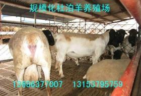 供应纯种杜泊羊种公羊成年怀孕母羊当年基础母羊价格