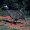 喜地六谷珍珠鸡 散养珍珠鸡 原生态新鲜现杀珍珠鸡