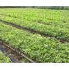 广西牛大力种苗供应-牛大力专业供应商-广西益南粤农业科技有限