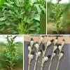 高产多杆多穗黑玉米联合种植-烟台水蜜桃苹果报价-中国农业倍增