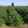 最新1米白皮松价格1米白皮松占地树1米白皮松精品树1米白皮松
