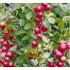 最新钙果苗价格1年生钙果苗价格2年生钙果苗钙果苗种植