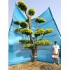 衡水德润景观  造型金叶榆  景观树  造型树  风景树