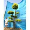 衡水德润景观  金叶榆造型树/树的造型设计/景观树设计