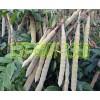 供应甘甜牛大力苗-牛大力种苗采购价格-广西益南粤农业科技有限