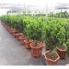 云南红豆杉苗木价格-苗圃供应健康树多少钱一棵-云南宏杉林业有