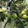 网上水果商城商家入驻_正宗红心蜜柚价格_四川金糖果香农业发展