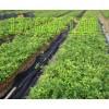 关于牛大力种植-广西牛大力种子小苗-广西益南粤农业科技有限公