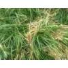 八福麦冬草基地 四川麦冬种苗批发价格 四川八福农业开发有限公
