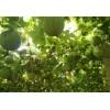 四川瓜蒌种苗报价 瓜蒌籽多少钱一斤 四川八福农业开发有限公司