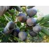 基地直供特色热销水果黑柿苗