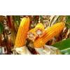 中梁319玉米品种适合什么积温种植