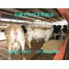 供应纯种杜泊羊肉羊养殖效益纯种杜泊羊规模化管理技术