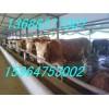 供应肉牛基础母牛繁育基地怀孕母牛品种育肥架子牛价格