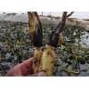 安新素雅莲家庭农场低价出售高质量荷花苗