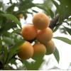 四川优质嫁接蜂糖苗价格  重庆蜂糖李苗木基地