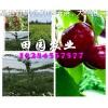 重庆大樱桃树苗价格,矮化大樱桃苗批发,车厘子苗哪里有?