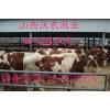 供应优质纯种西门塔尔牛犊