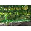 广西农家果园紫香百香果一手货源诚招微商代理