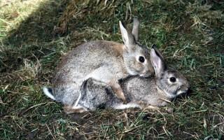 母兔配种最佳时间:母兔的发情有哪些特征?