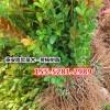 批发1米、1.2米、1.5丛生北海道黄杨价格